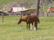 Горноалтайские лошади настолько суровы...