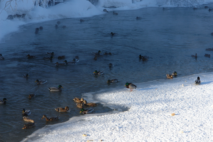 Всю зиму их кормил,остались зимовать прям в центре Томска:)