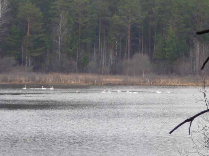 Лебеди Кликуны весной на озере..