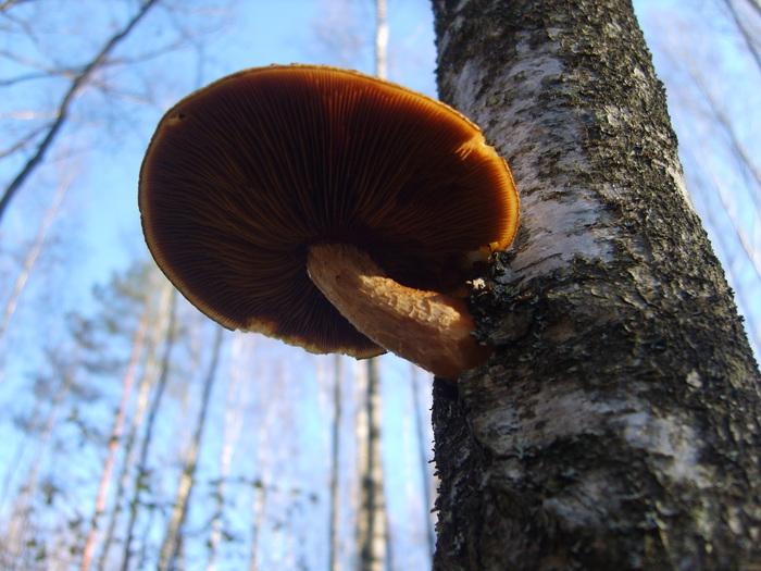 наглый гриб