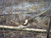лес валят,а лесобилет не выписывают!