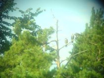 Два года эти птицы жили посреди города. (фотал через бинокль на телефон)