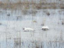 Лебеди весной на разливе