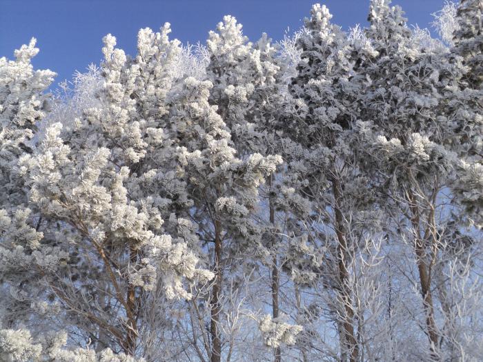 мороз снежком укутовал