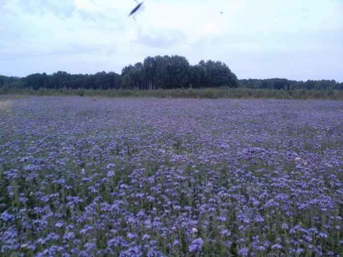 Цветущие поля (фацелия)