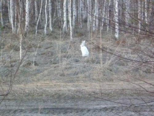 Апрельский заяц