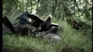 Орел напал на глухарей