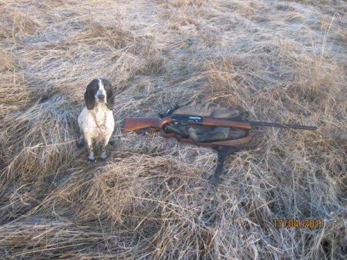 К использованию собак на весенней охоте