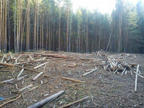 остатки Моряковского леса!да запрет на валку леса!всё брошено