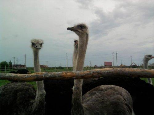 Тюменские страусы