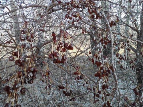 Мороженные яблоки в лесополосе