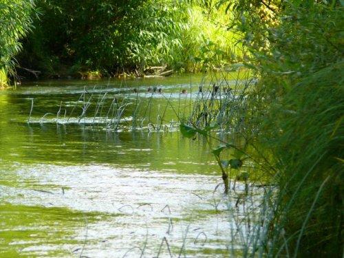 старые знакомые-крохали -улепётывают по воде