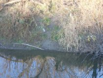 Выход бобровый на кормежку  из реки со следами
