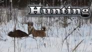 Охота на лося с лайкой