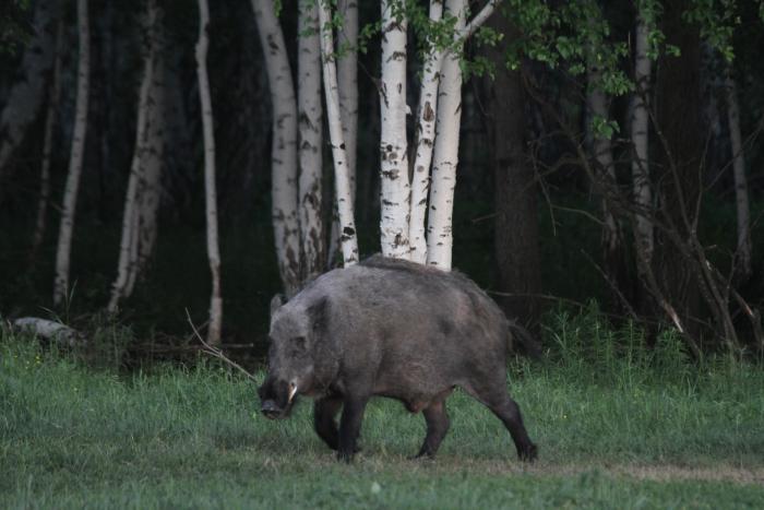 Кабан, Сибирь