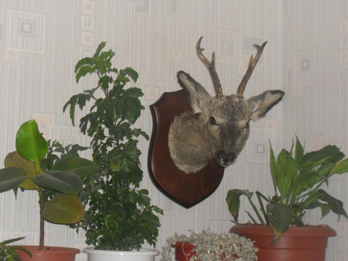 Сибирская косуля.