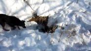 Ягдтерьеры на норной охоте