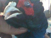 хороший фазан