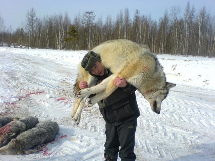 Волк полярный. Вес - за 80 кг.