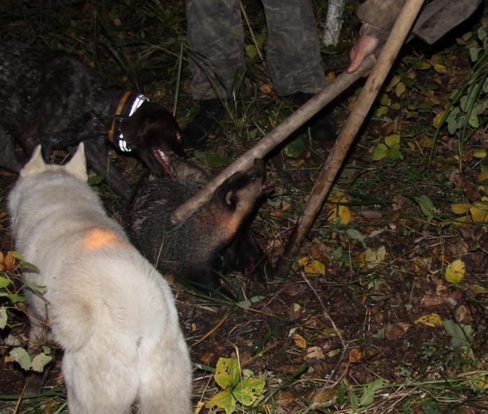 охота на барсука 2011