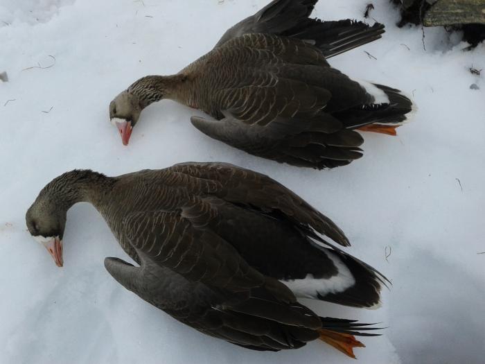 летели два гуся....