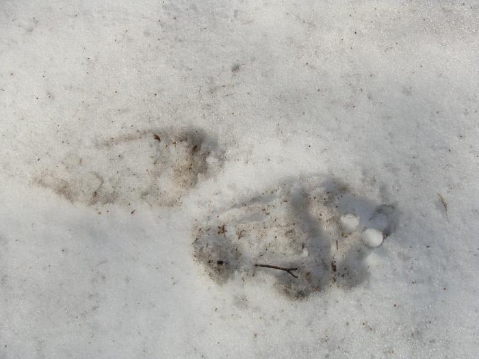 Каким знаком является след медведя для охотника