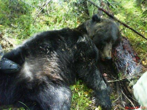 Медведь загрызший геолога в Эвенкии.
