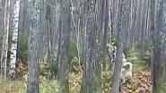 Охота с западно сибирскими лайками на белку