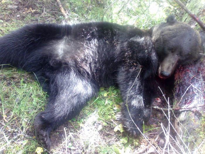 Тот же медведь убийца