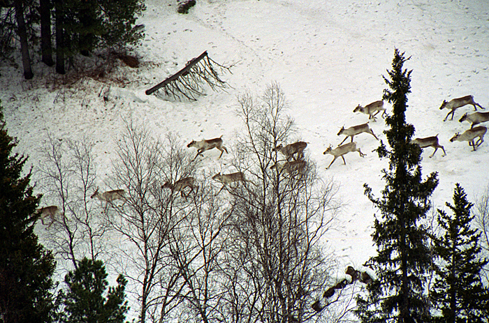 Стадо лесного северного оленя (междуречье Оби и Енисея)
