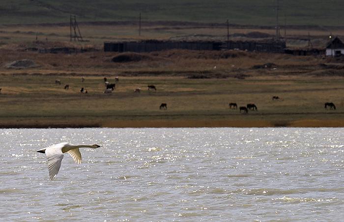 Одинокий лебедь (Хакасия)