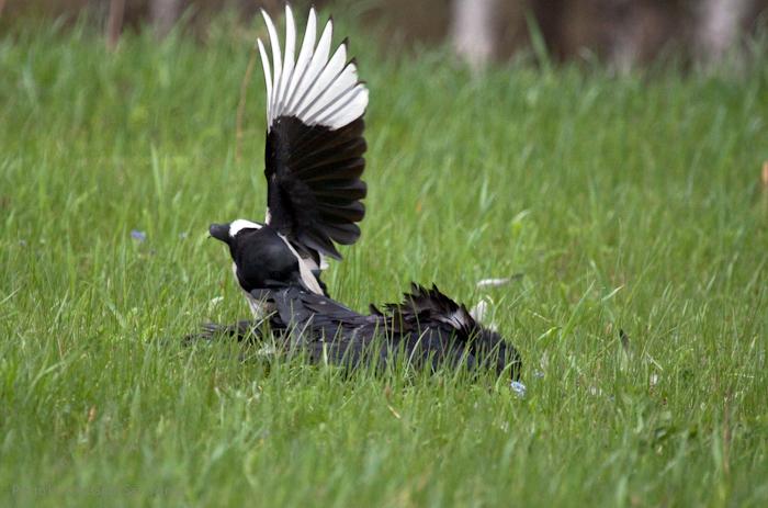 Сорока, добивающая подранка вороны (2)