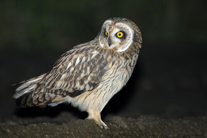 Болотная сова