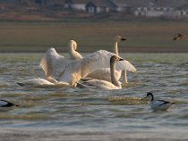 Малые лебеди на пролете в Хакасии