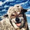Спасатели сняли со скалы отару сбежавших от волков овец