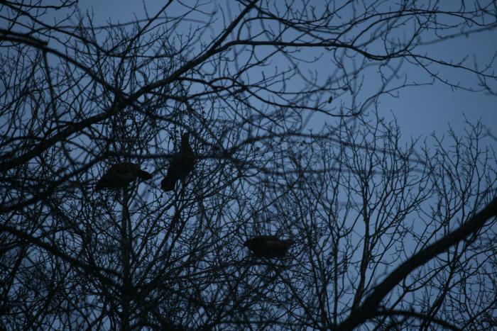 Дерево с глухарками.