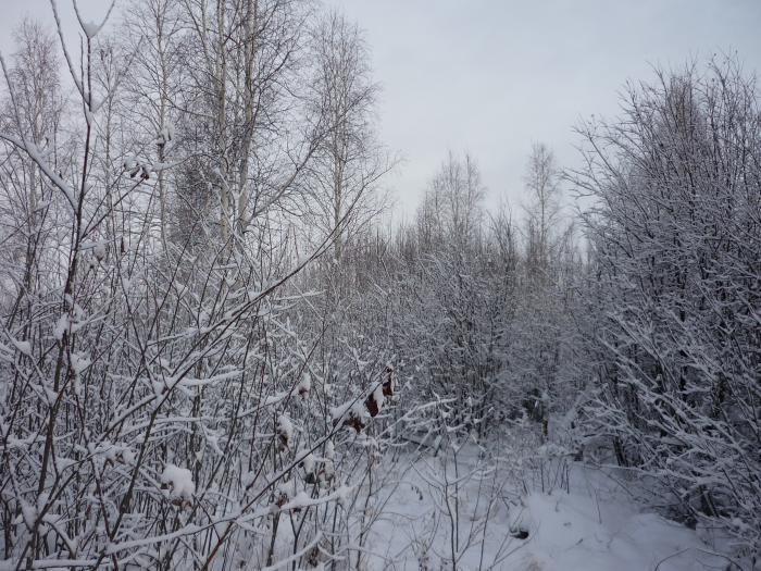 Лес после снега,прекрасен...