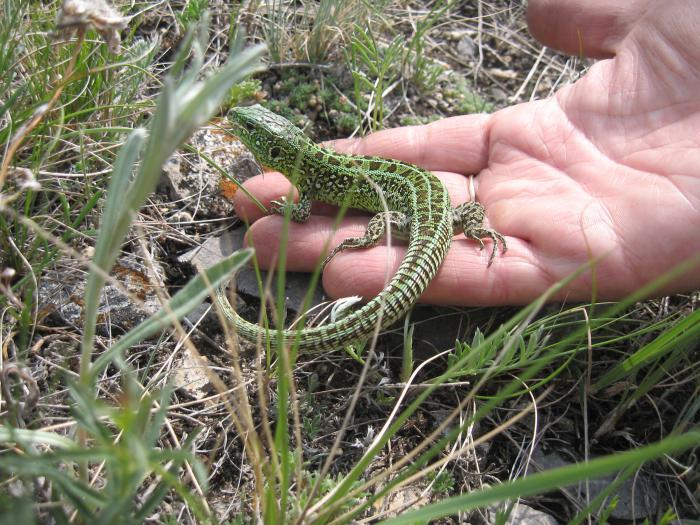 Зеленая ящерка...