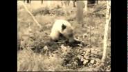 Поведение медведя-подранка