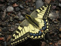 Почти ручная бабочка :)