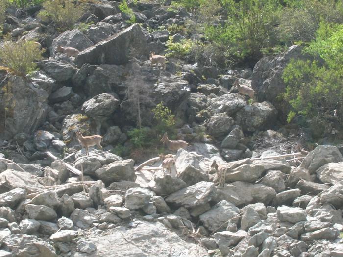 Козлы горные сибирские