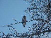 Краснокнижная сова
