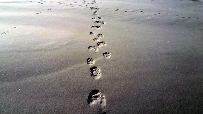 центре следы росомахи на снегу фото действие обусловлено
