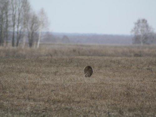 Бежит прямо через косачинный ток)))