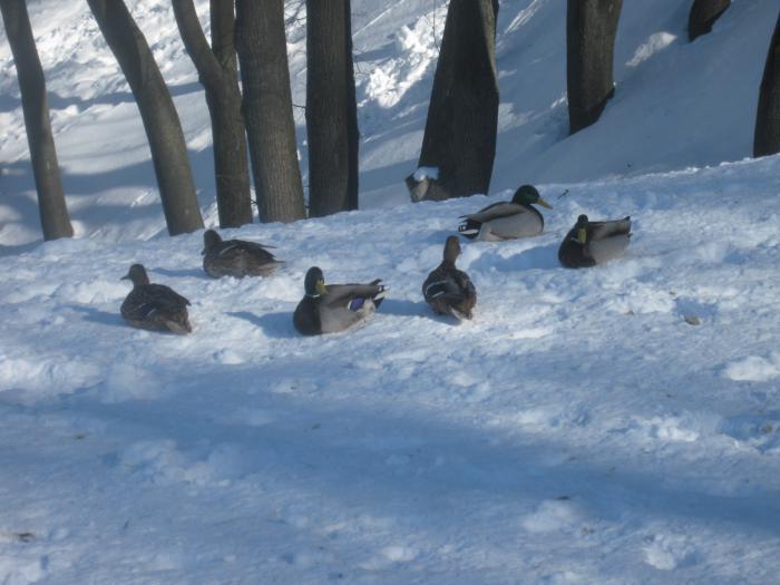 Утки на снегу.