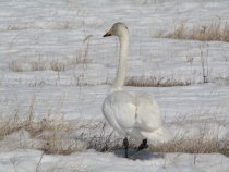 Лебедь 31.03.13