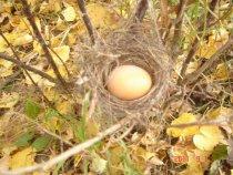Яйцо пеночки :-))