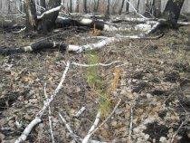 Сгоревшие лесные культуры от огня отморозков.