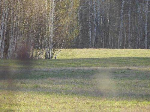Заяц - разведчик
