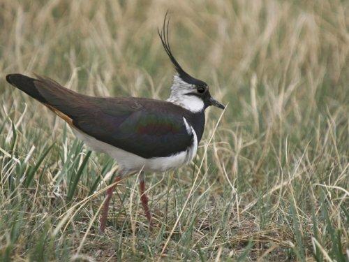 Чибис - тоже охотничья птица